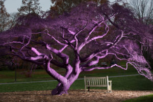 Why is this tree on campus purple? Ask the tree for yourself!